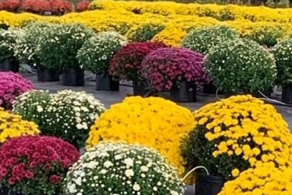 Local Farm with mums