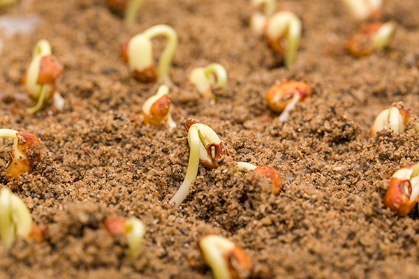 Image of seedlings sprouting